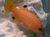 Marine Fish for Sale: Swalesi Basslet