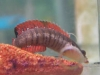 Marine Fish for Sale: Fasciolatum Pseudochromis