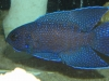 Marine Fish for Sale: Marine Betta - Blue