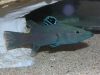Marine Fish for Sale: Soapfish - Chabanuadi