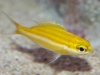 Marine Fish for Sale: Bilineatus Bream