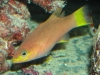 Marine Fish for Sale: Mitratum Bass