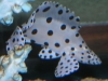 Marine Fish for Sale: Panther Grouper