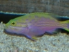 Marine Fish for Sale: Polleni Grouper