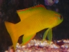 Marine Fish for Sale: Acessor Bass