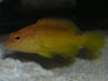 Marine Fish for Sale: Coney Grouper - Yellow Phase