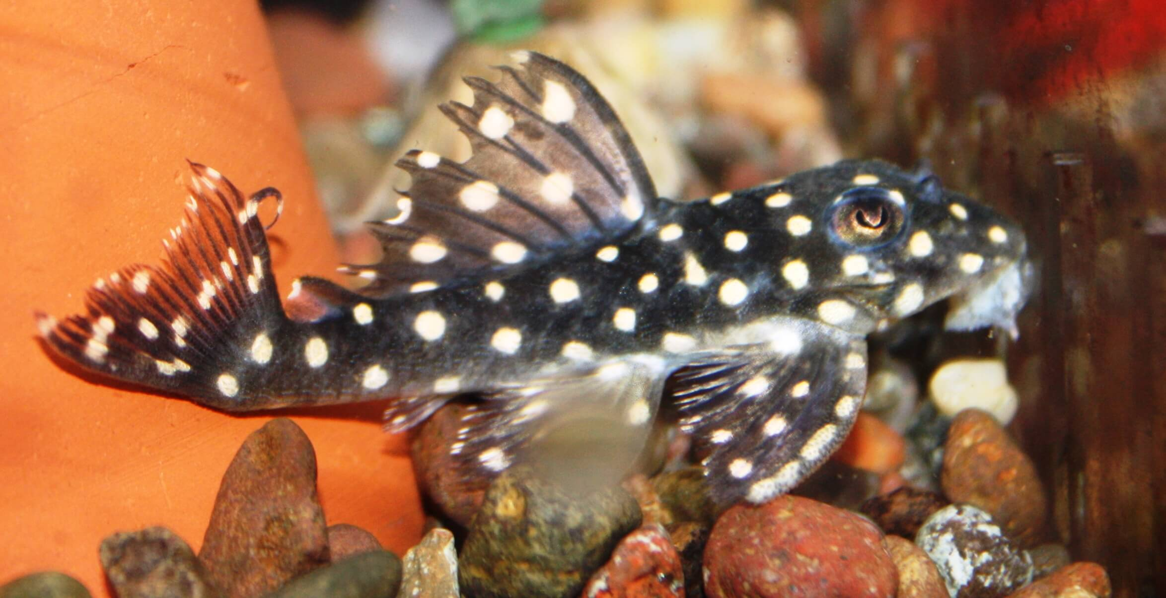 Absolutely fish photo gallery loricariidae for Freshwater fish for sale