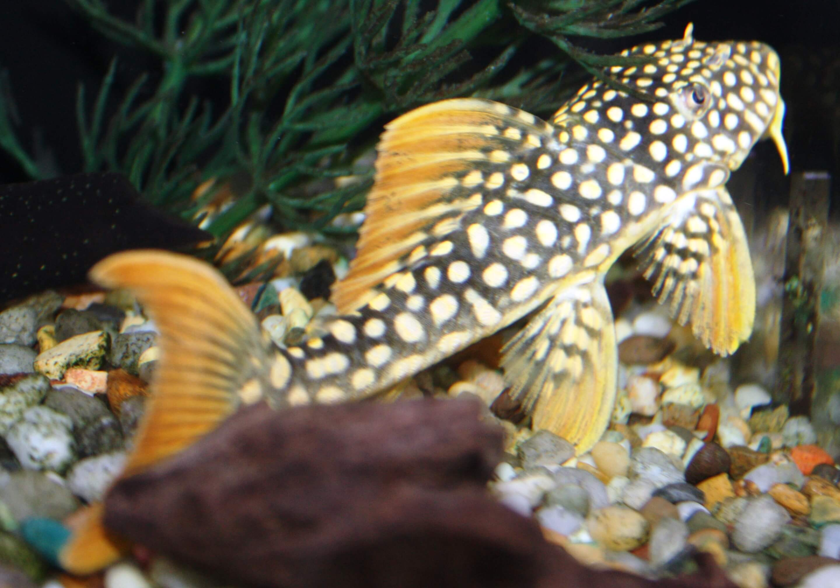 Absolutely fish photo gallery loricariidae 2 for Pleco fish for sale