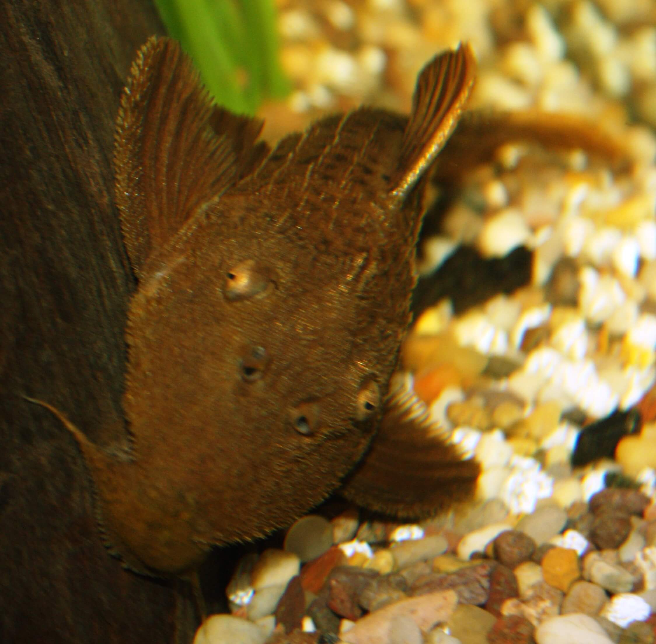 Freshwater-Fish-for-Sale-WN06