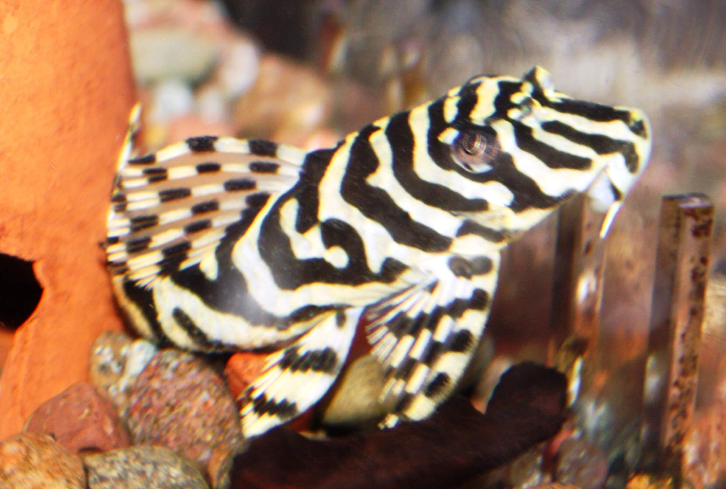 Tropical-Fish-for-Sale-NJ-WN26
