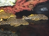gold-nugget-pleco-l-81