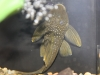 green-phantom-pleco-l-200