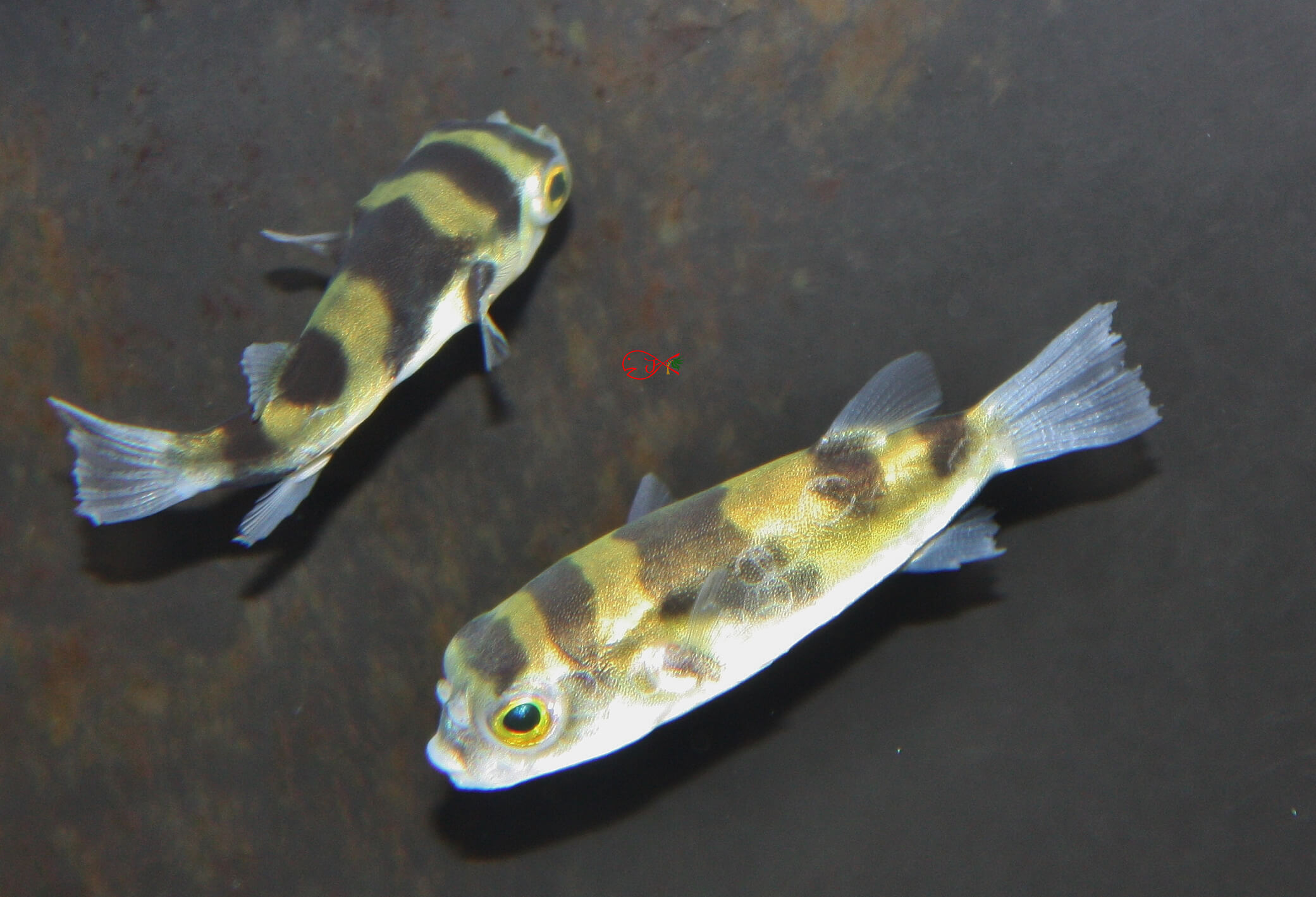 Freshwater fish for sale absolutely fish sa bumble bee for Freshwater fish for sale