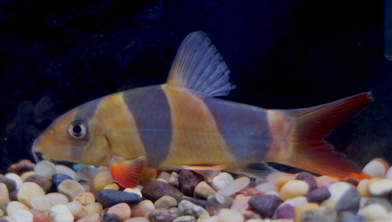 Absolutely fish photo gallery misc freshwater tropical fish for Freshwater clown fish