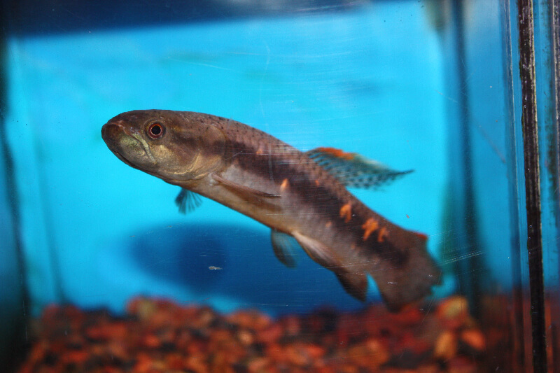 Absolutely fish photo gallery misc freshwater tropical fish for Freshwater wolf fish