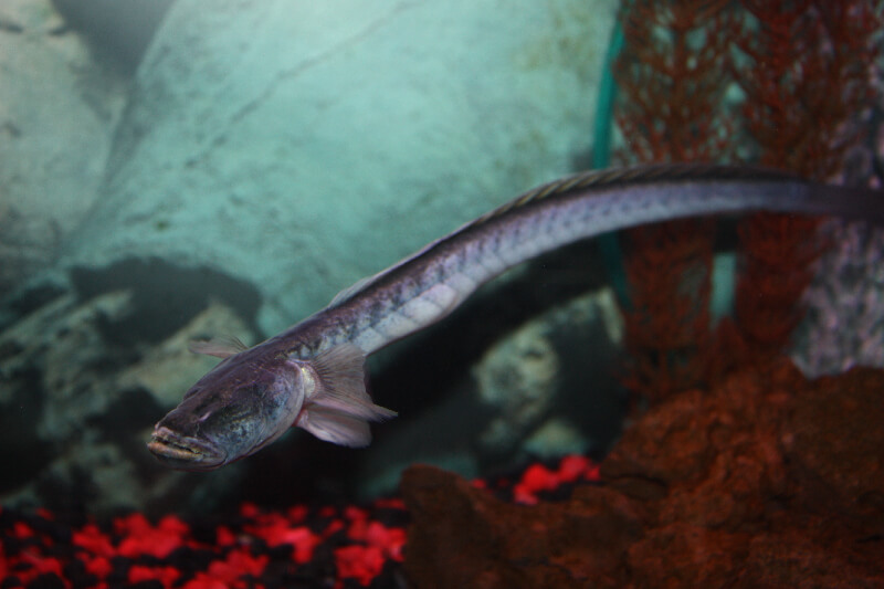 Absolutely fish photo gallery misc freshwater tropical fish for Dragon fish goby