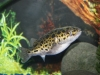 green-spotted-puffer