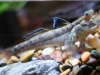 mudskipper_0