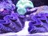 Blue Black Maxima Clam