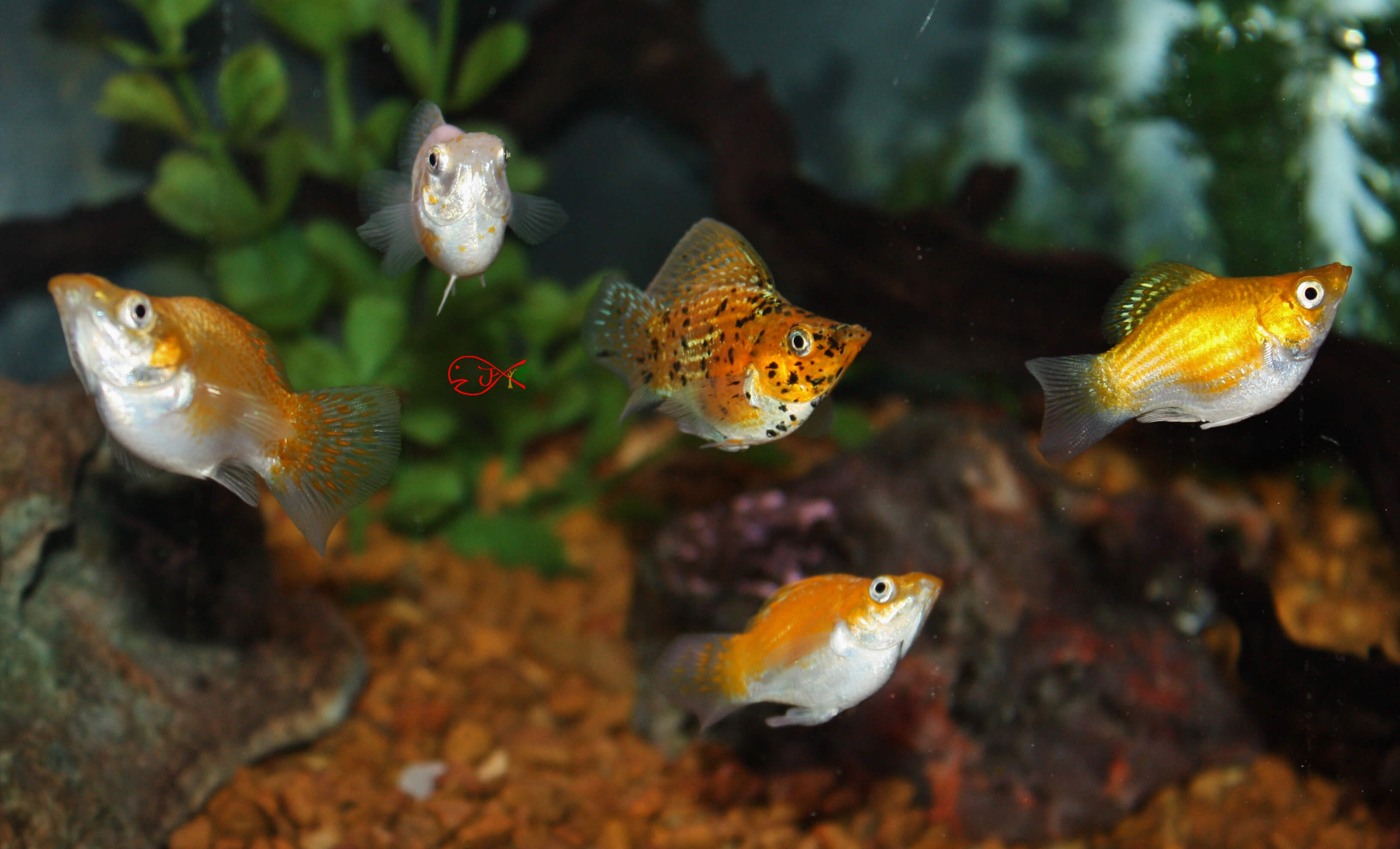 Absolutely fish photo gallery poecillidae for Molly fish for sale