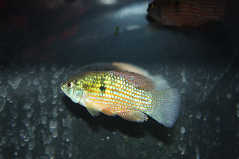 Absolutely fish photo gallery poecillidae for American flag fish