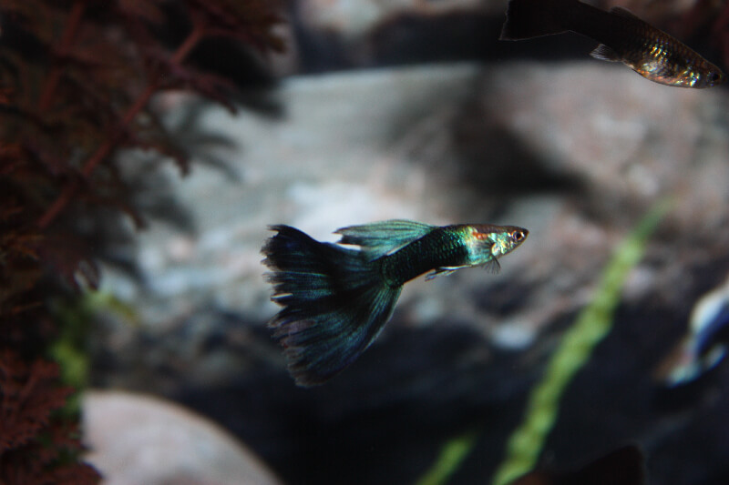 male-guppy