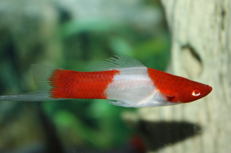 male-koi-swordtail