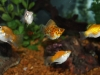 Freshwater-Fish-for-Sale-WN02-Balloon-Mollies