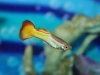 Freshwater-Fish-for-Sale-WN07-Tequila-Sunrise-Guppy