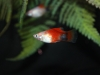 hifin-mickey-mouse-platy