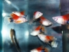 hifin-mickey-mouse-platys