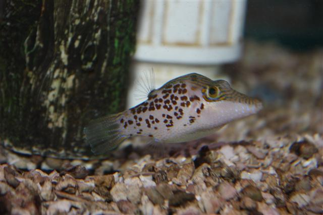 Absolutely fish photo gallery puffers for Freshwater puffer fish care