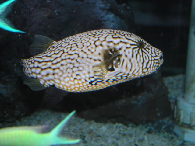 Absolutely Fish Photo Gallery - Puffers