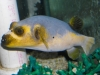 Yellowbelly Dogface Puffer