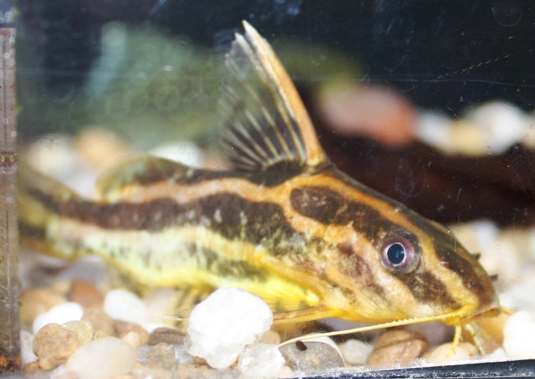 Absolutely fish photo gallery siluridae for Freshwater fish for sale