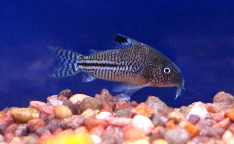 Freshwater Fish for Sale Absolutely Fish NJ - Cory Jullii