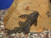 Freshwater Fish for Sale Absolutely Fish NJ - Synodontis Birchardi