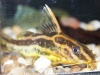 Freshwater Fish for Sale Absolutely Fish NJ - Synodontis robertsi
