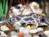 Freshwater Fish for Sale Absolutely Fish NJ - Synodontis flavitaeniatus