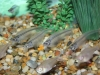 Freshwater Fish for Sale Absolutely Fish NJ - Glass Catfish