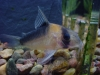Freshwater Fish for Sale Absolutely Fish NJ - Cory Adolphi