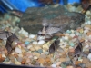 Freshwater Fish for Sale Absolutely Fish NJ - Cory Melanistus