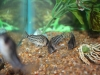 Freshwater Fish for Sale Absolutely Fish NJ - Cory Schwartzi