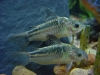 Freshwater Fish for Sale Absolutely Fish NJ - Cory Elegans