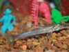Freshwater Fish for Sale Absolutely Fish NJ - Lizard Cat
