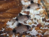 Freshwater Fish for Sale Absolutely Fish NJ - Panda Cory