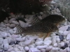 Freshwater Fish for Sale Absolutely Fish NJ - Cory Sterbaii