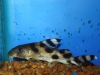 Freshwater Fish for Sale Absolutely Fish NJ - Syndonotis Decorus