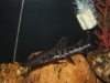 Freshwater Fish for Sale Absolutely Fish NJ - Tiger Shovelnose