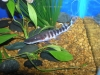 Freshwater Fish for Sale Absolutely Fish NJ - Tigrinus Cat